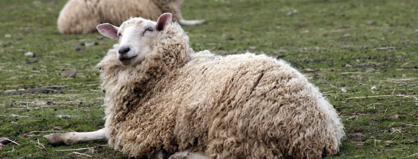 Iodine and Pregnant Ewes