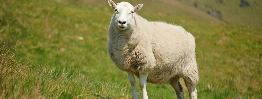 Understanding Ewe Nutrition