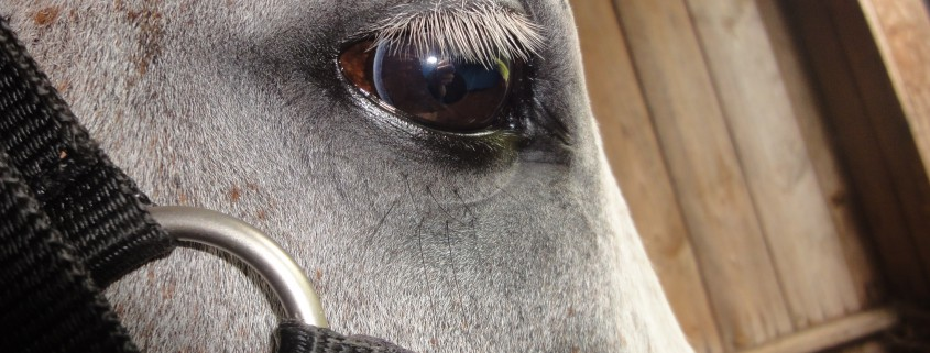Equine Case Study: Epithelial Iris Cyst