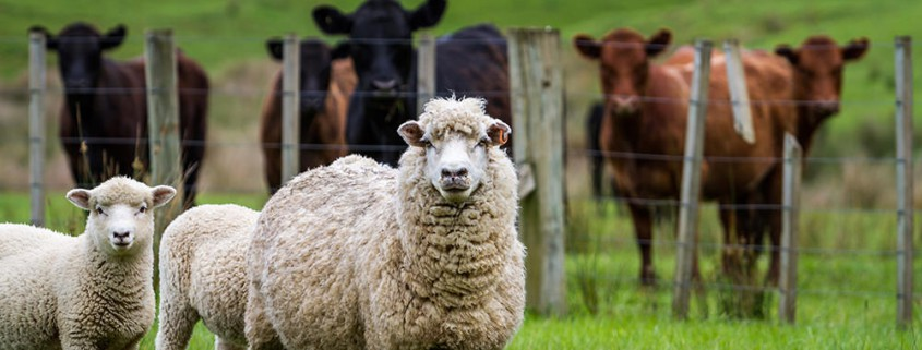 Thin Ewes and Possible Causes