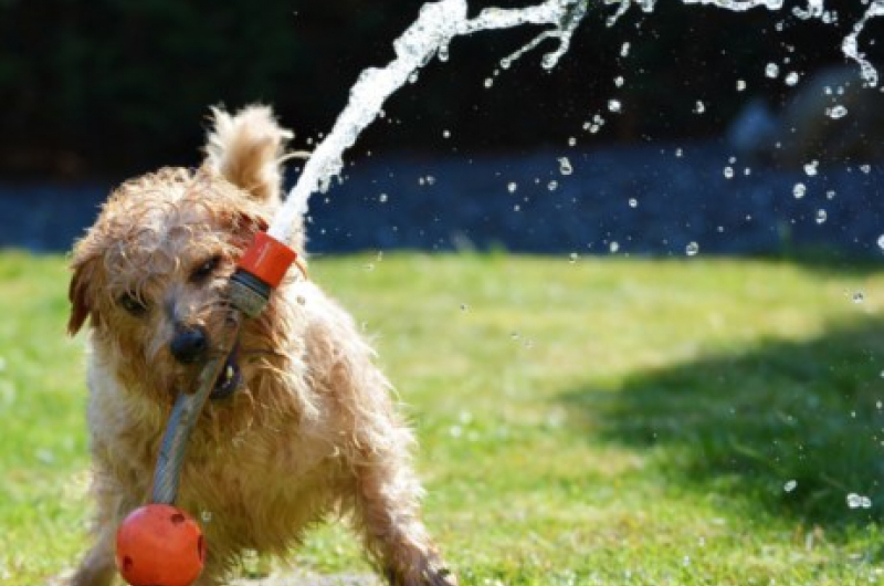dog hot weather summer advice