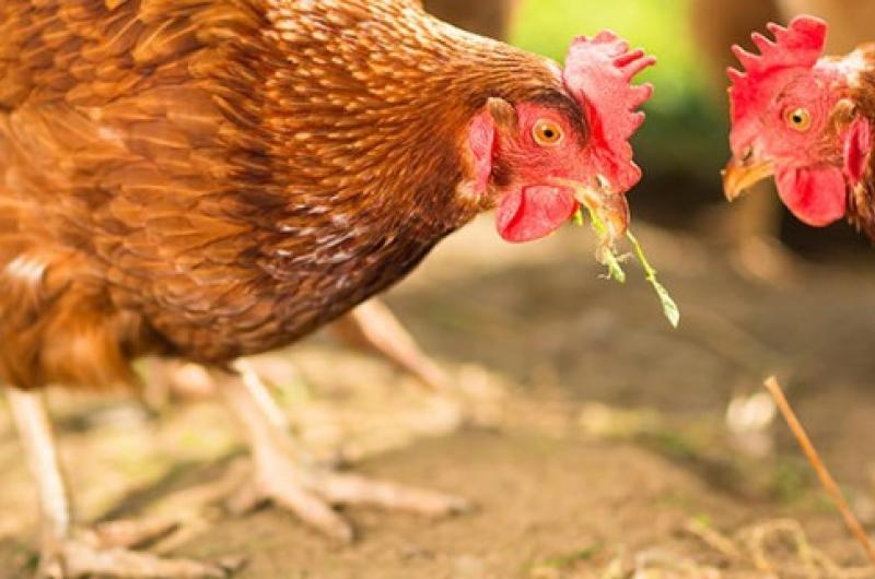 Back on the shelves: Flubenvet (worm treatment for chickens, geese & turkeys)