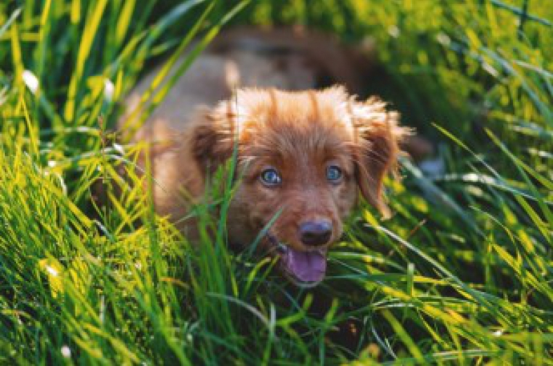 grass seeds in dogs