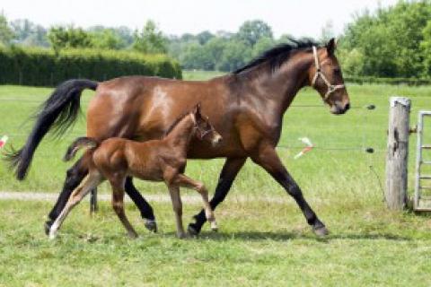 Equine Castration